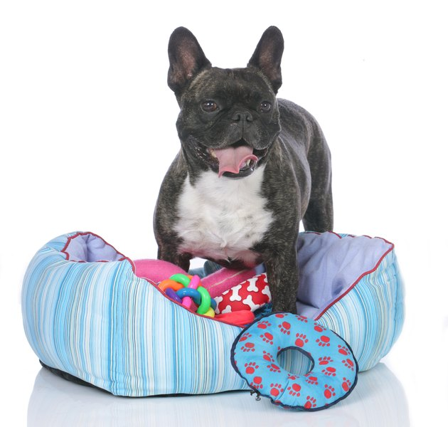 French bulldog with dog bed and lots of toys