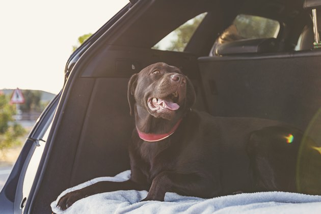 Chocolate labrador in boot of car