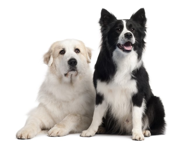 Great Pyrenees  and Border Collie, 2 years old,