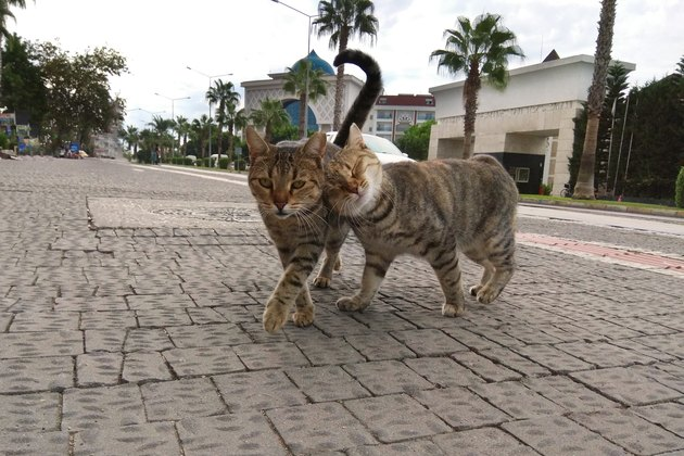 Two cute cats playfully walking along the street of southern city. Photographed on smartphone