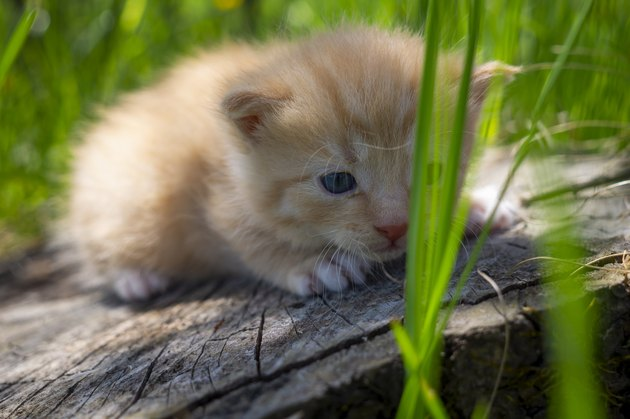 Little ginger kitten crouching on a tree stump
