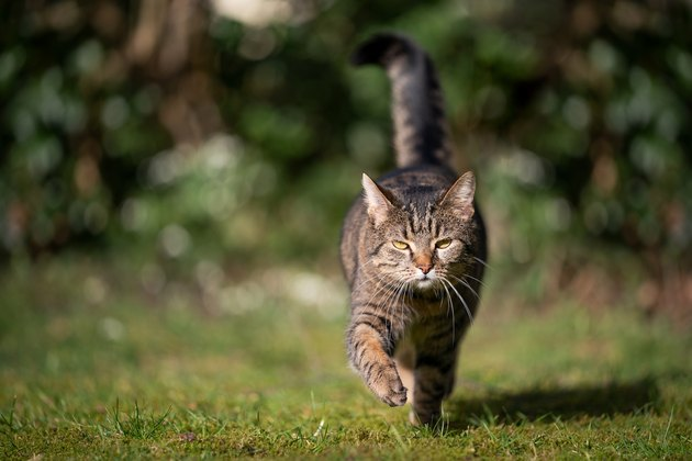 outdoors cat walking on grass