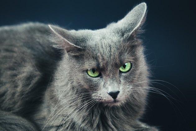 Nebelung Cat Portrait On Gray