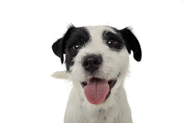 An adorable Parson Russell Terrier looking happy at the camera