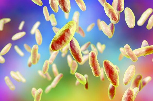 Brucella bacteria, illustration