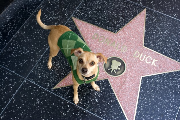 Little dog visiting Donald Duck's star on Hollywood Walk of Fame.