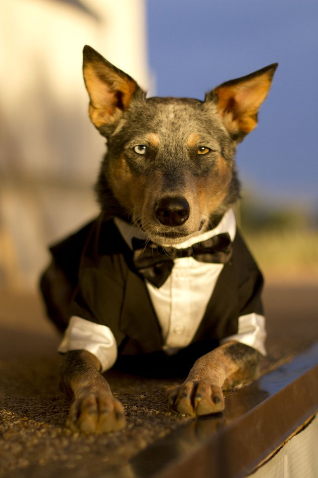 Australian Cattle Dog Mix wearing Tuxedo