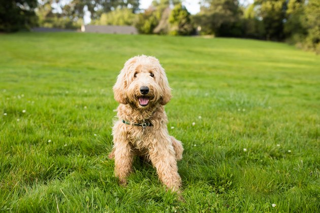 Happy Labradoodle Dog Sitting on Grass Outdoors