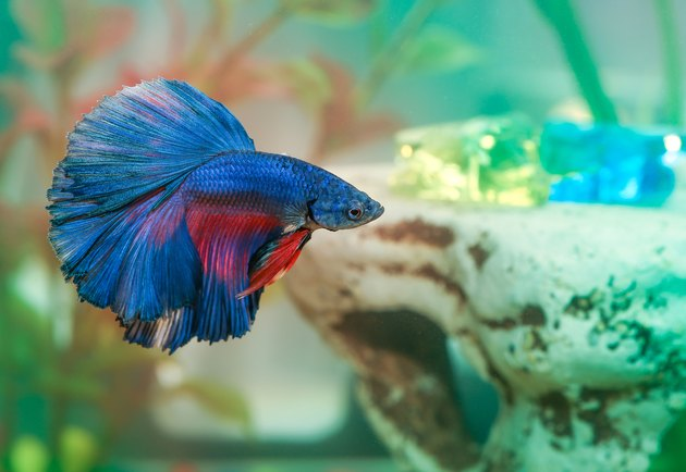 Blue betta fish Aquarian swims in aquarium water