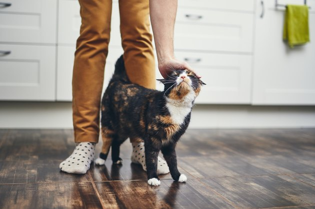 tortoiseshell cat rubbing up against person's legs