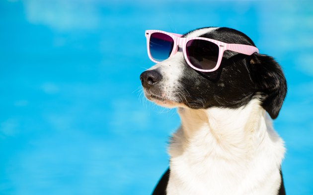 Funny dog with sunglasses on summer towards swimming pool