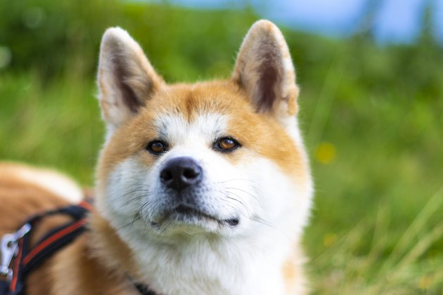 Close-Up Of Japanese Akita