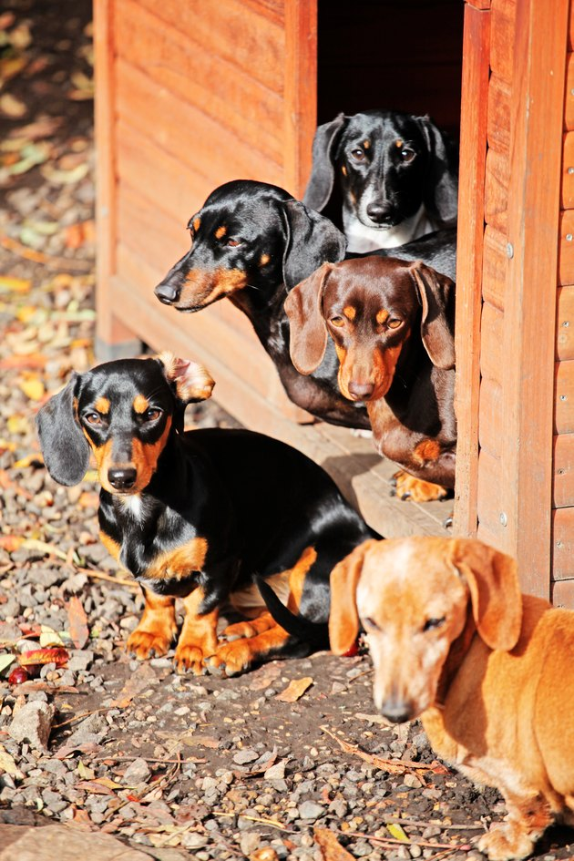 bunch of dachshunds outside