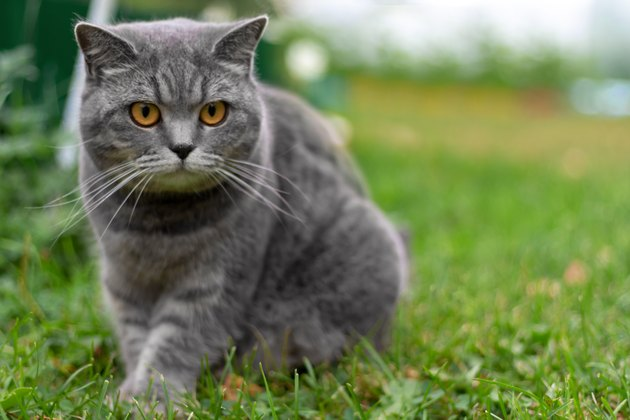 Gray adult british cat sitting in grass.