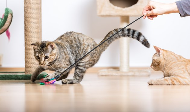 Cats Playing with toys in Living Room