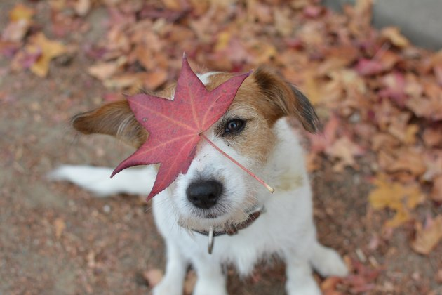 Small Jack russell terrier with autumn leaf on his face