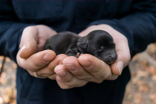 Newborn black puppy sleeping in the hands of the owner.