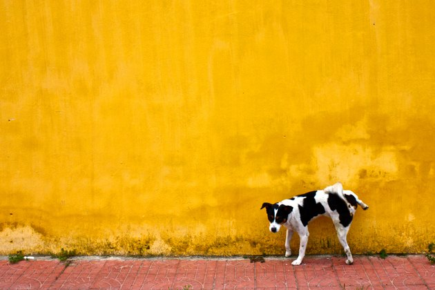 small dog peeing on yellow wall