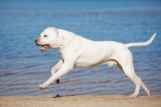 dogo argentino dog running