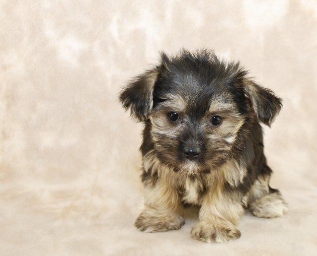Sweet Little Morkie Puppy