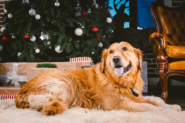 Golden retriever by Christmas tree