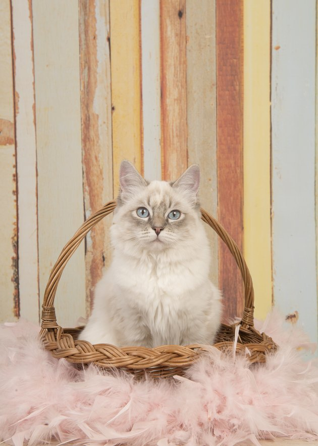 Cute ragdoll cat with blue eyes looking at camera sitting in a reed basket on a pastel colored background in a vertical image