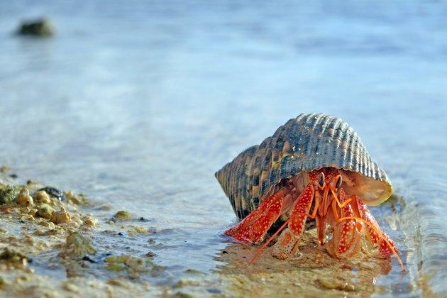 Hermit crab walks on sandy beach