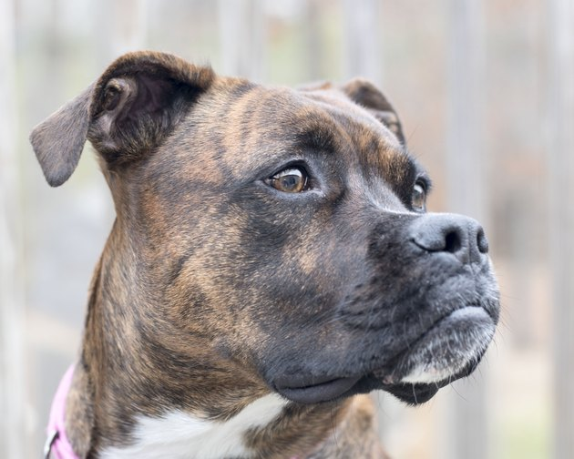 Brindle Boxer Dog Mix