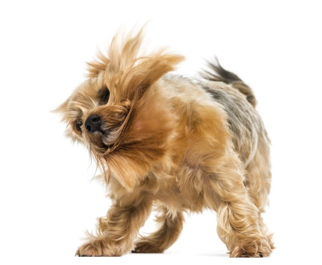 Yorkshire terrier standing, shaking, 6 years old, isolated