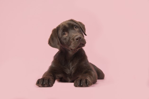 Adoble brown labrador puppy lying down on a pink background