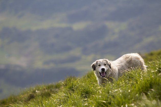 Big white grown clever shepherd dog standing on steep green grassy mountain slope on sunny summer day on copy space background of wide panorama of dark green foggy woody mountain ridge.