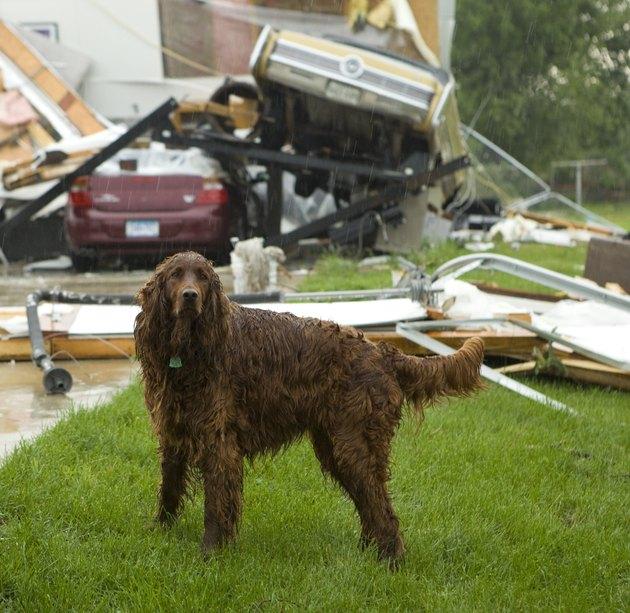 Dog in Rain After Tornado