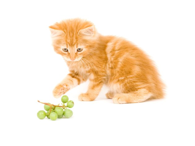 kitten playing with grapes