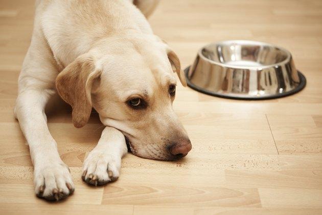 Hungry Labrador