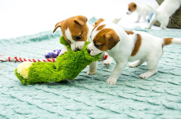 Little Jack Russell Terrier puppies