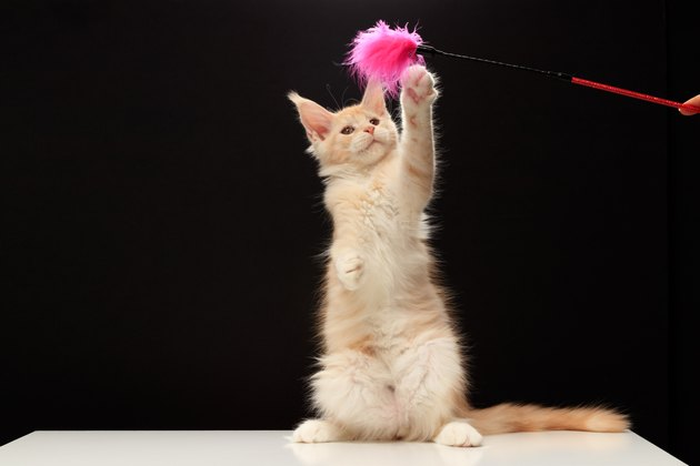 Maine Coon kitten is 3.5 months old. Maine Coon plays with a toy teaser.