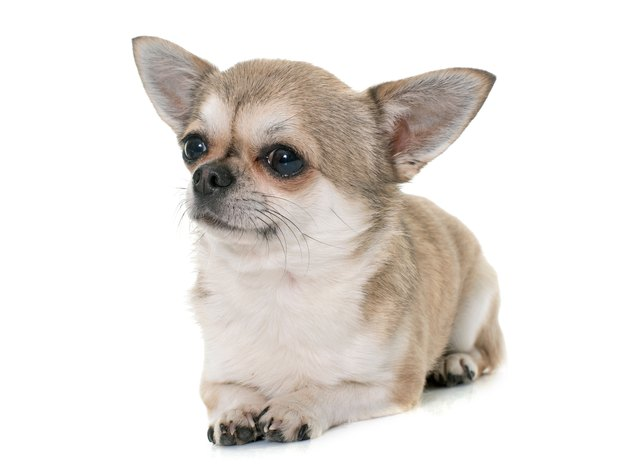 Chihuahua Relaxing Against White Background