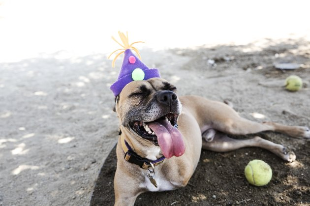 Happy Tripod Boxer Mix with a Birthday Hat - The Amanda Collection