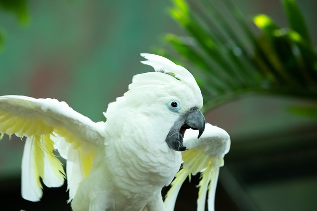 Animated white cockatoo putting on a show.