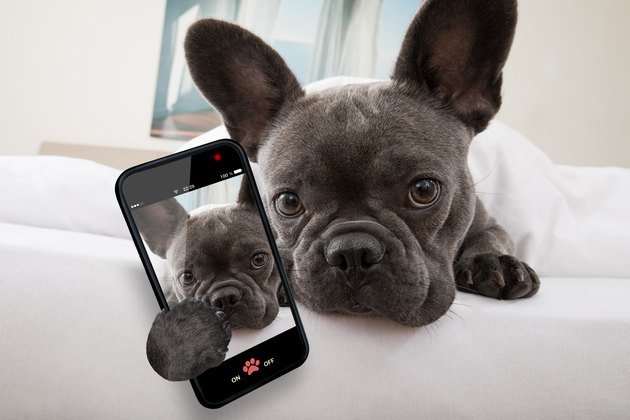 dog resting on bed at home holding phone with selfie