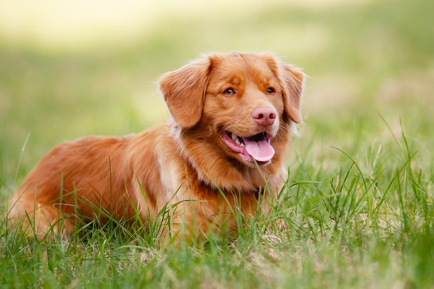 Nova Scotia Duck Tolling Retriever resting on green grass