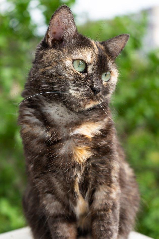 portrait of domestic tortoiseshell cat on nature background