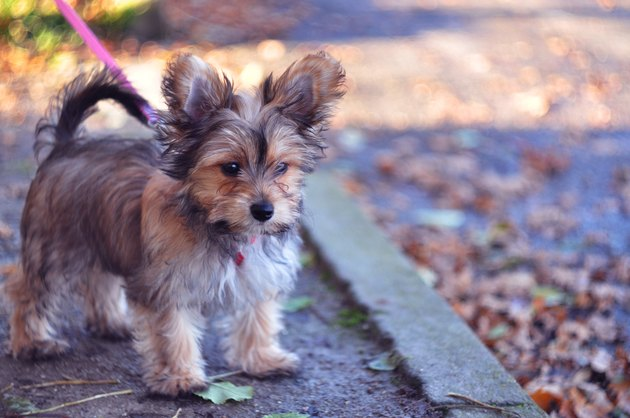 Chorkie Puppy Out for a Walk