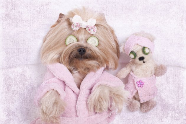 Yorkie Dog and Teddy Bear Friend at the Beauty  Salon