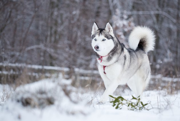 Siberian husky runs on fresh snow.