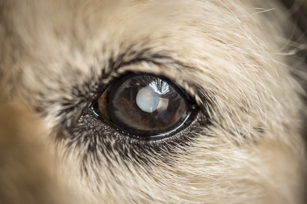 Close up of dogs eye with cataract