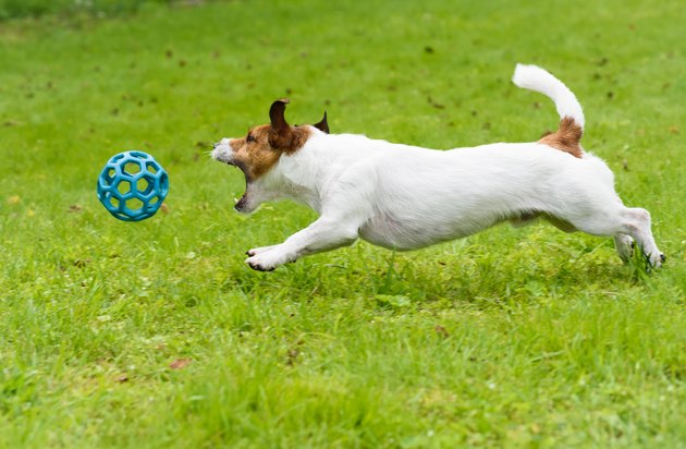 Dog chasing and catching toy ball jumping on green grass
