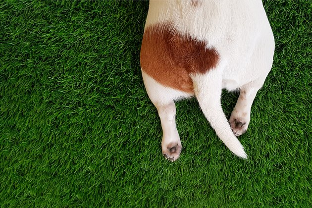 Tail, paws a cute dog in green lawn.