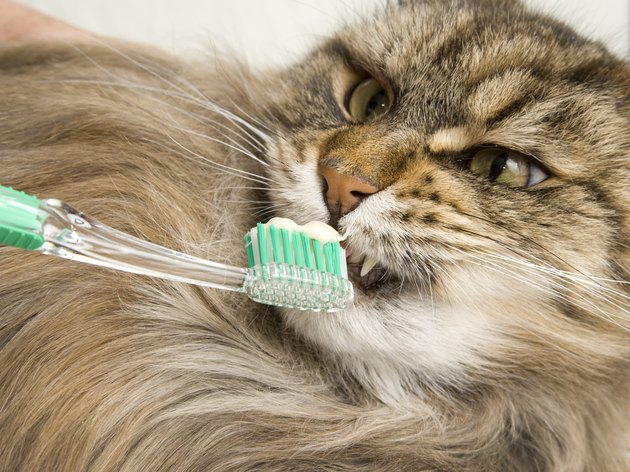 Maine Coon Cat Dental Hygiene.