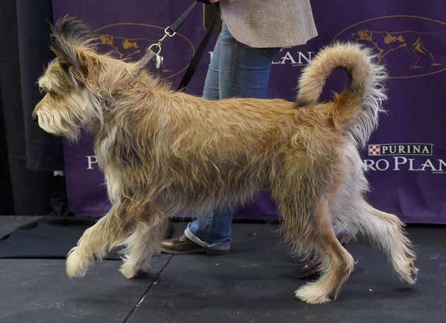 Berger Picard at the 140th Annual Westminster Kennel Club Dog Show